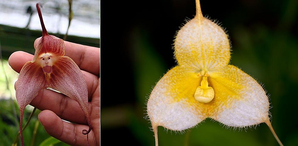 Orchidée Singe
