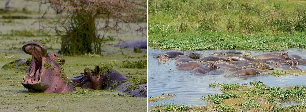 Hippos Ngorongoro