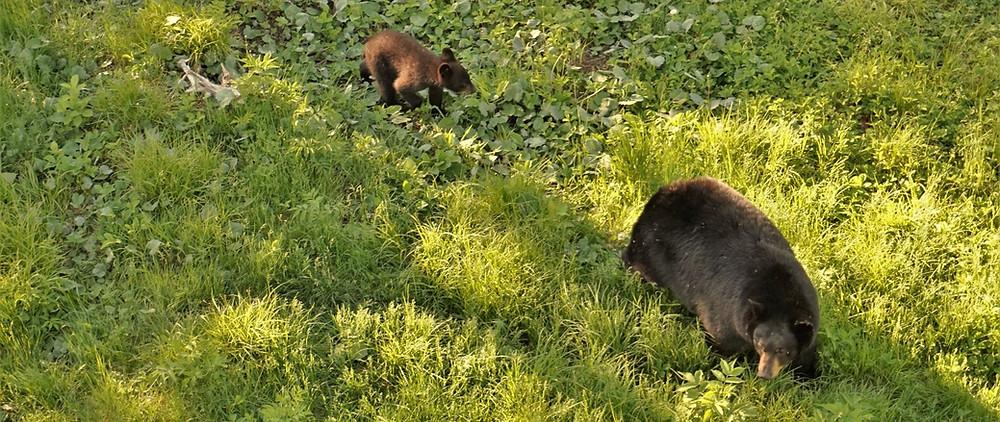 Voir les Ours Nouveau Brunswick