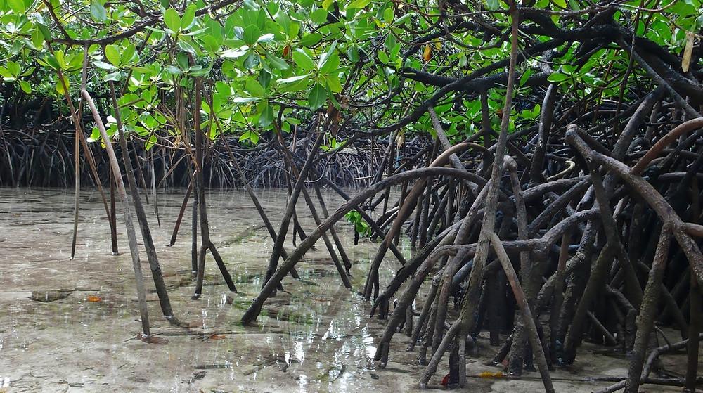 raja ampat mangrove