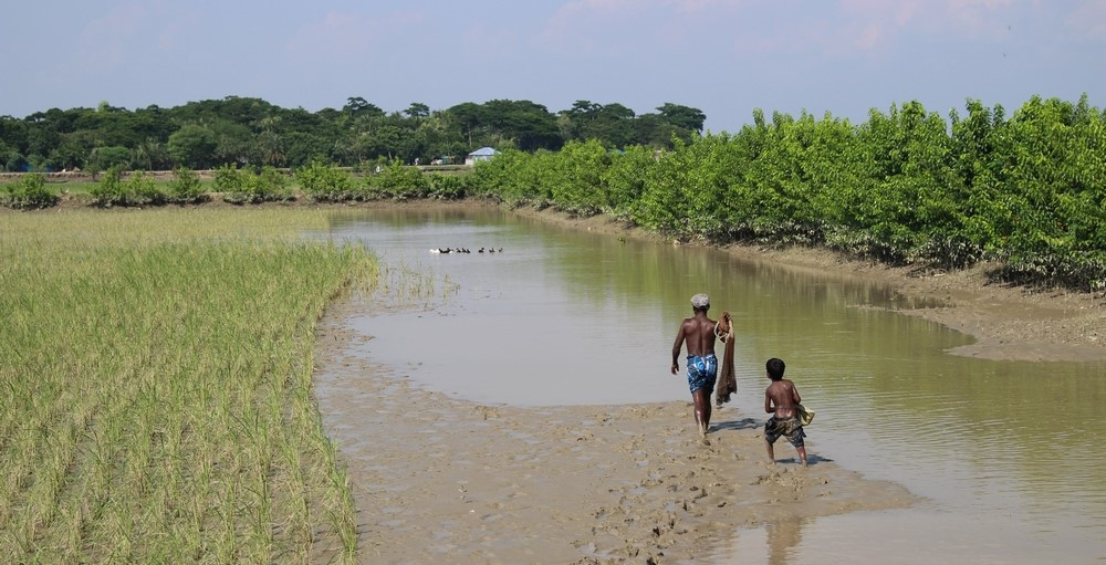 rizières Sundarbans au Bangladesh