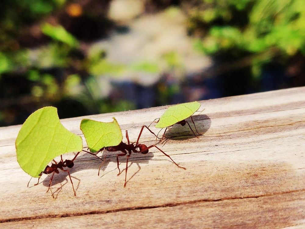 fourmis de tayrona