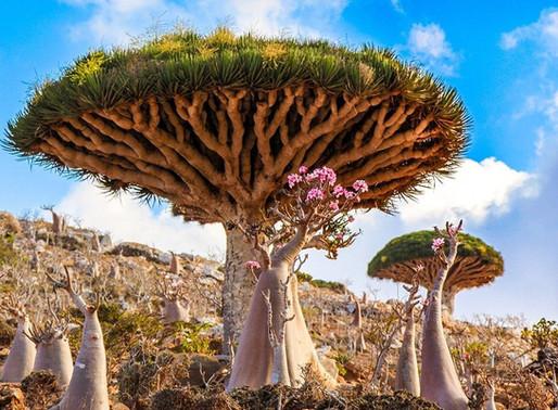 Le dragonnier de Socotra au Yemen