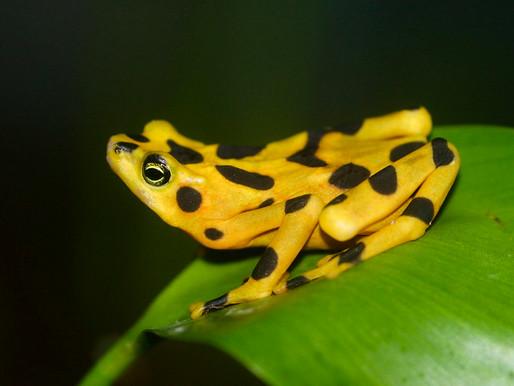 La Golden Frog, la grenouille dorée du Panama