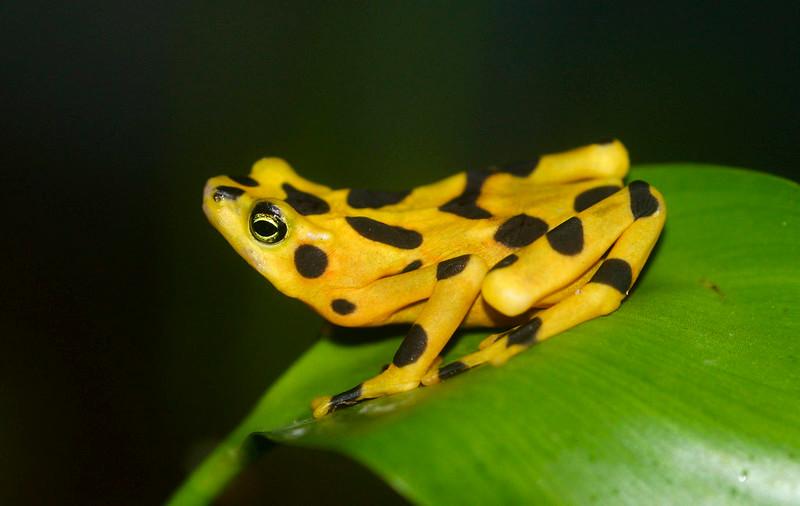 La grenouille d'or du Panama