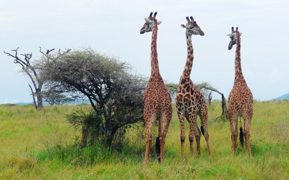 girafes parc du serengeti tanzanie