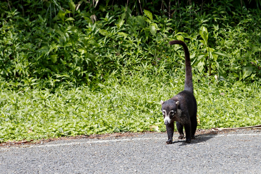 Coati Monteverde Costa Rica