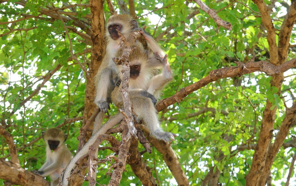 safari singes velvet tarangire