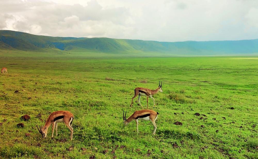 impalas ngorongoro