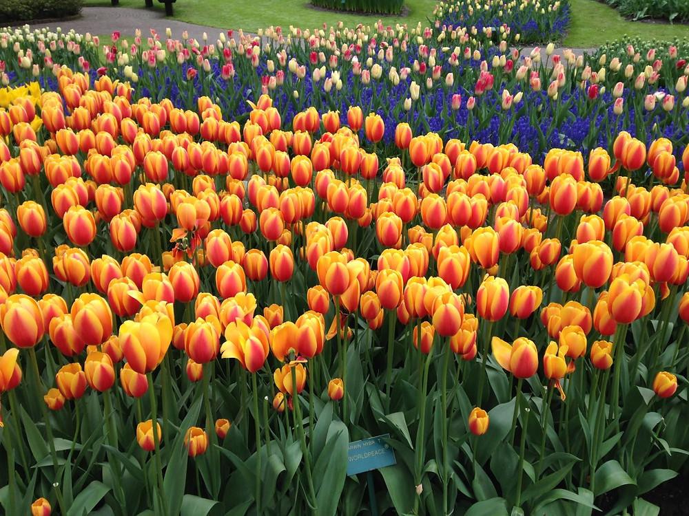 Champs de tulipe hollande origine