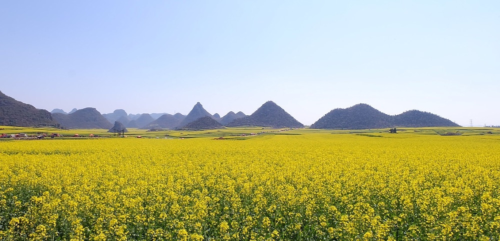 paysage insolite chine colza