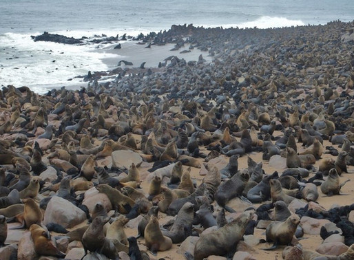 Cape Cross et sa colonie d'otaries, l'enfer en Namibie !