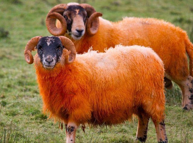 mouton couleur irlande