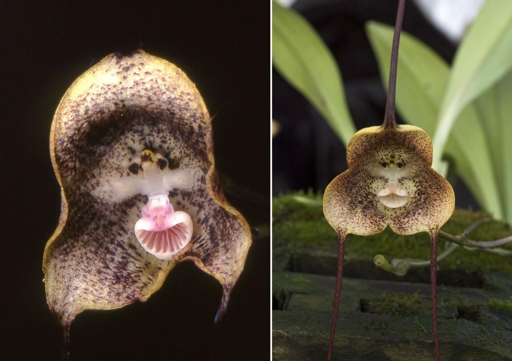 orchidée tête de singe