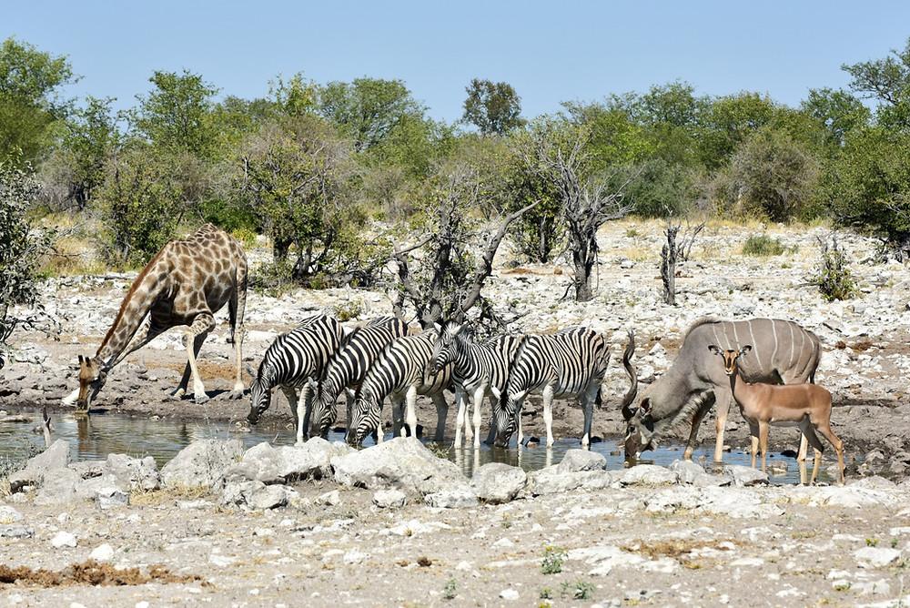 Troupeaux Etosha Namibie
