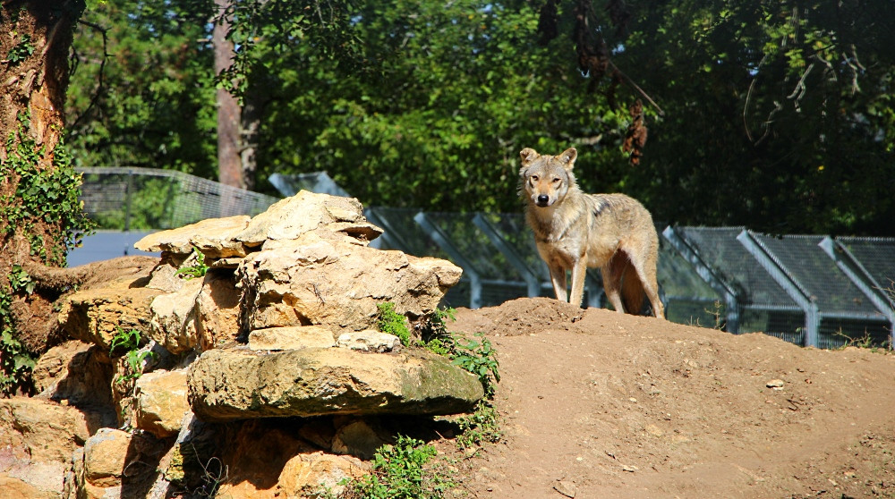 Périgord  Loup visite