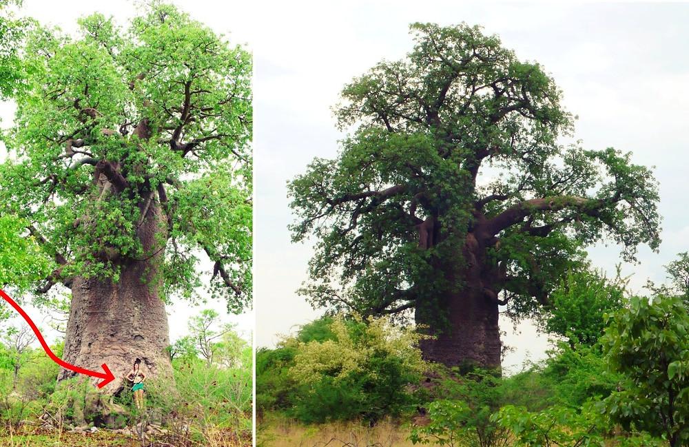 baobabs botswana