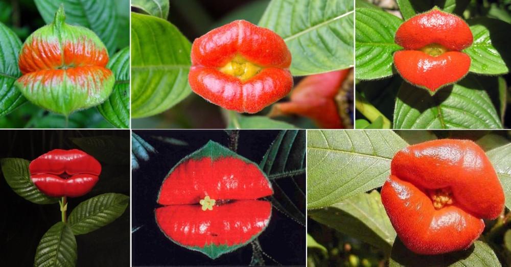 fleur en forme de bouche rouge