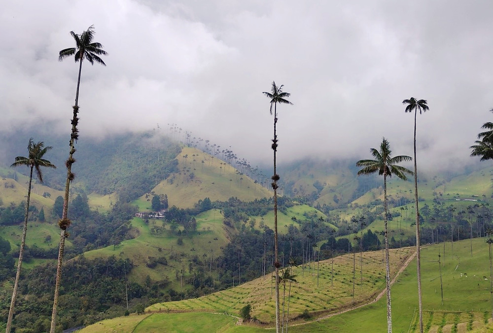 Palma de Cera Valle de Cocora Colombie