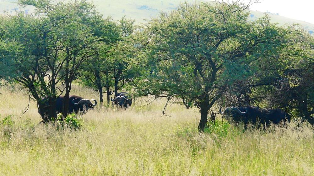 buffles parc serengeti