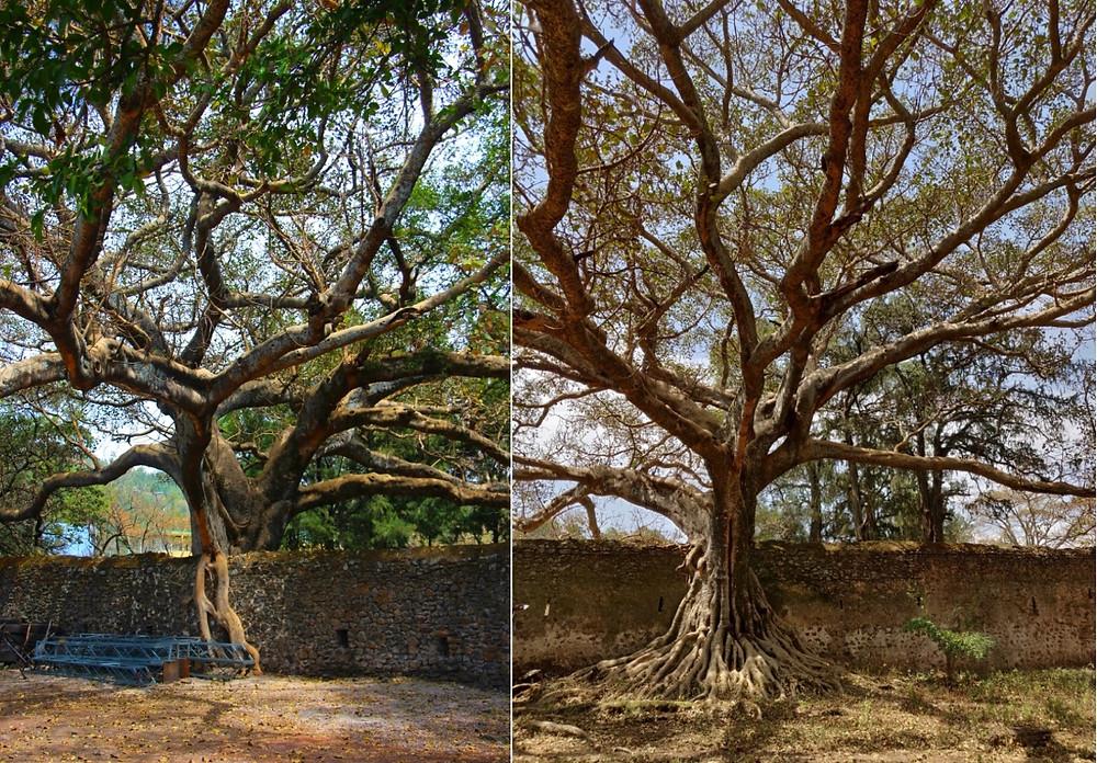 Gondar arbres