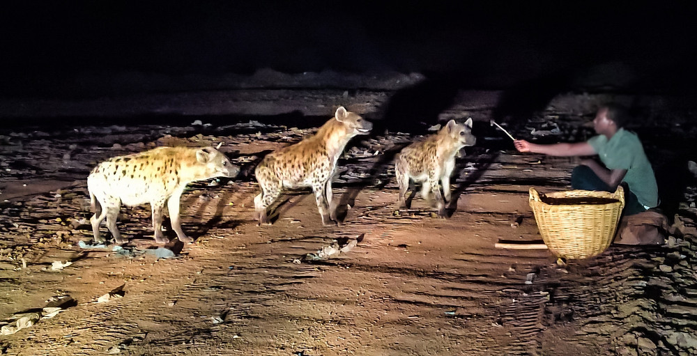 hyènes harar ethiopie