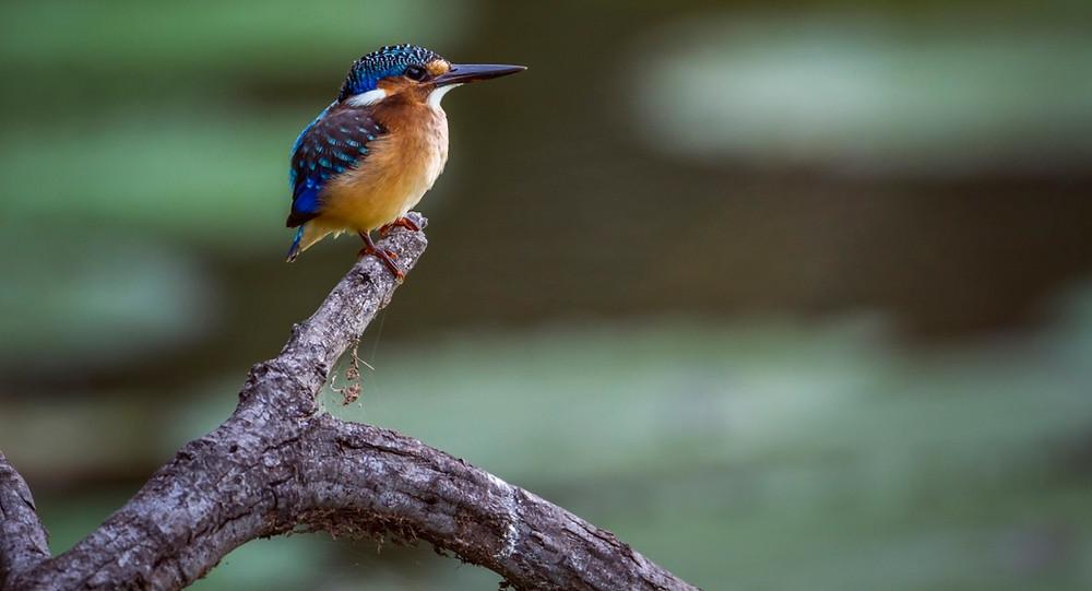 oiseaux lac tana
