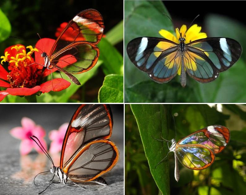 papillon transparent