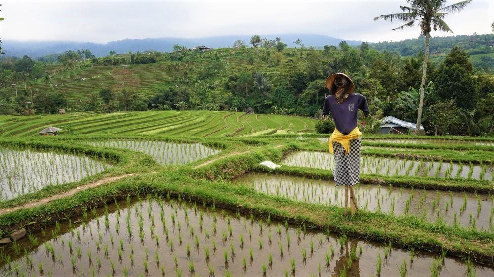 Epouvantail Jatiluwih rizières en terrasse