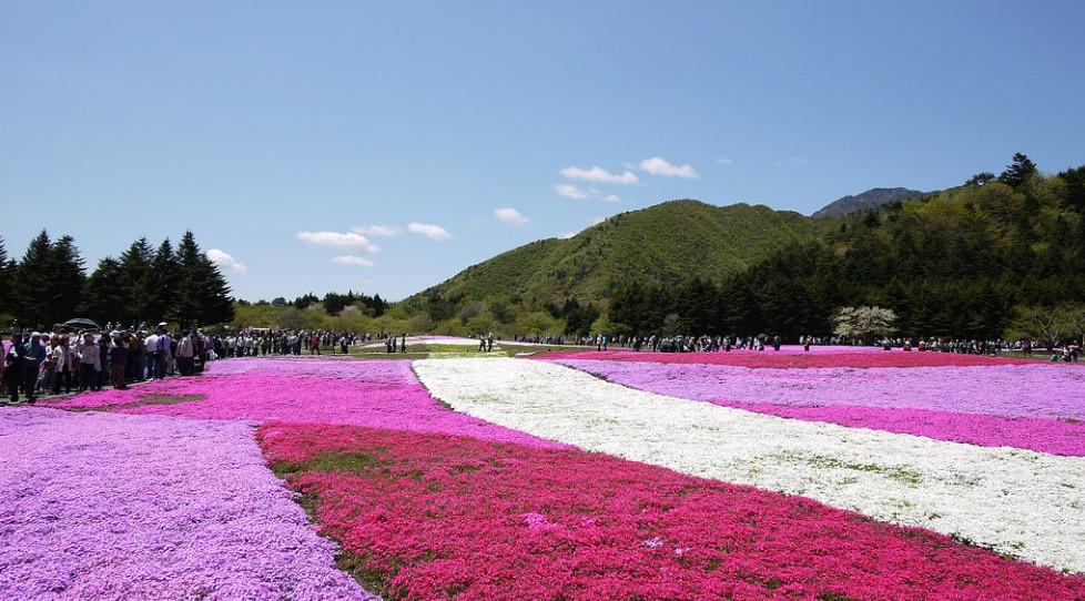 Shibazakura tapis de fleurs japon fuji