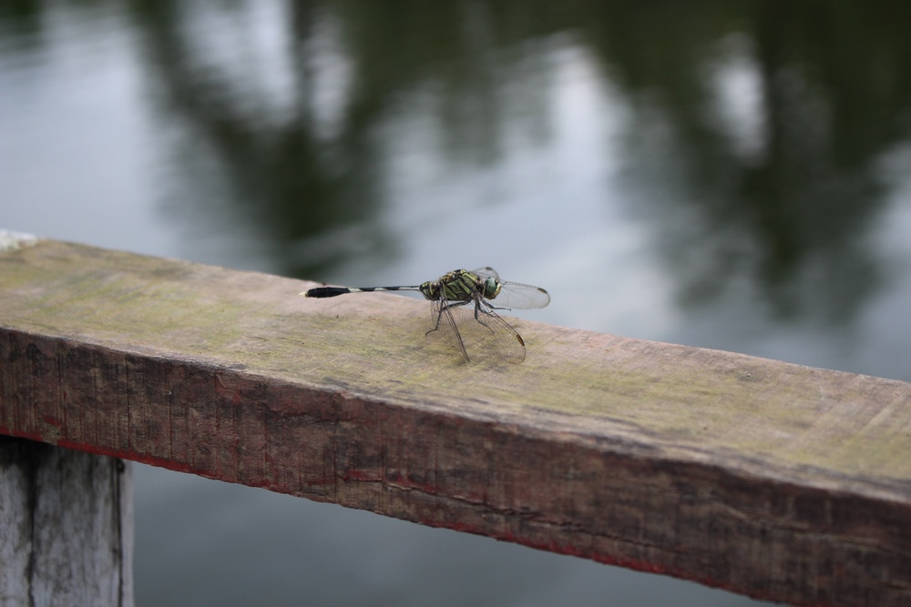 libellule Sundarbans voyage Bangladesh
