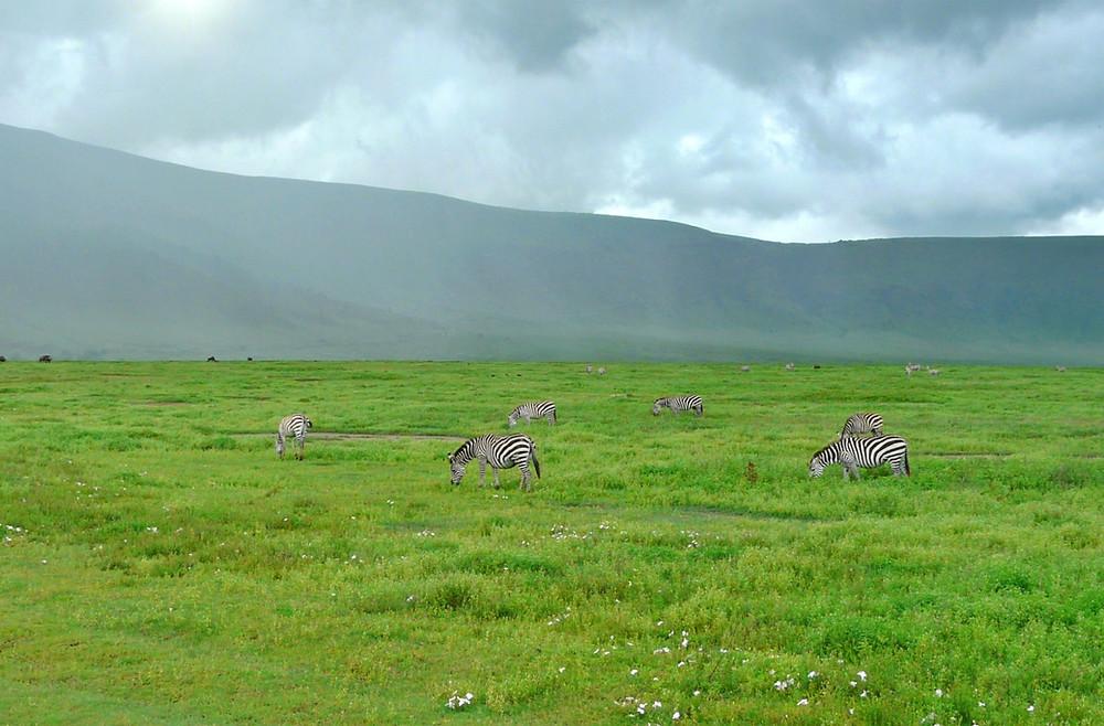 zèbres ngorongoro
