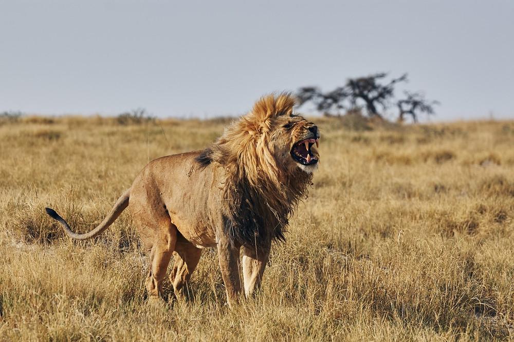 Lion Etosha Namibie