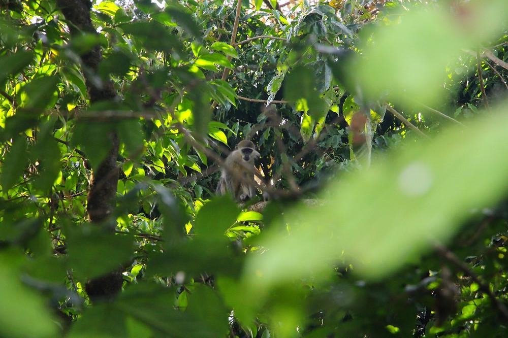 lac tana éthiopie singes
