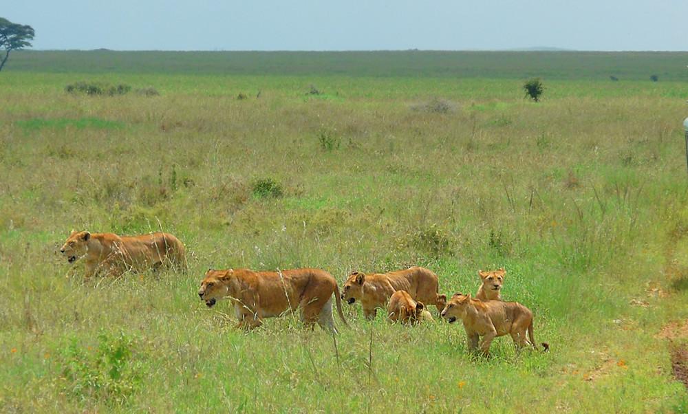 famille de lions Serengeti