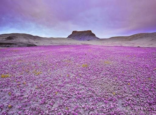 Le plateau du Colorado en fleurs aux Etats Unis