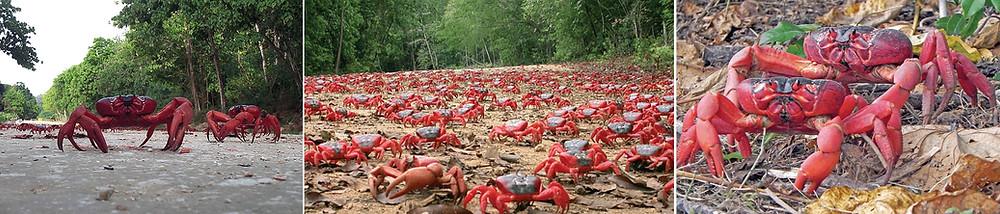 migration crabes rouges