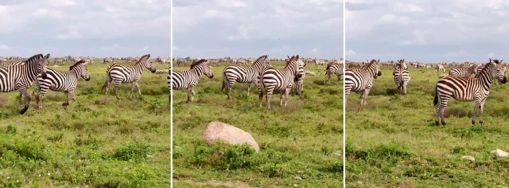 zèbres serengeti migration