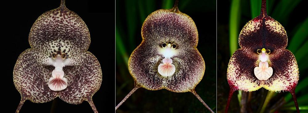 orchidées singe dracula simia
