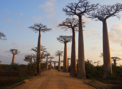 L'allée des baobabs de Madagascar