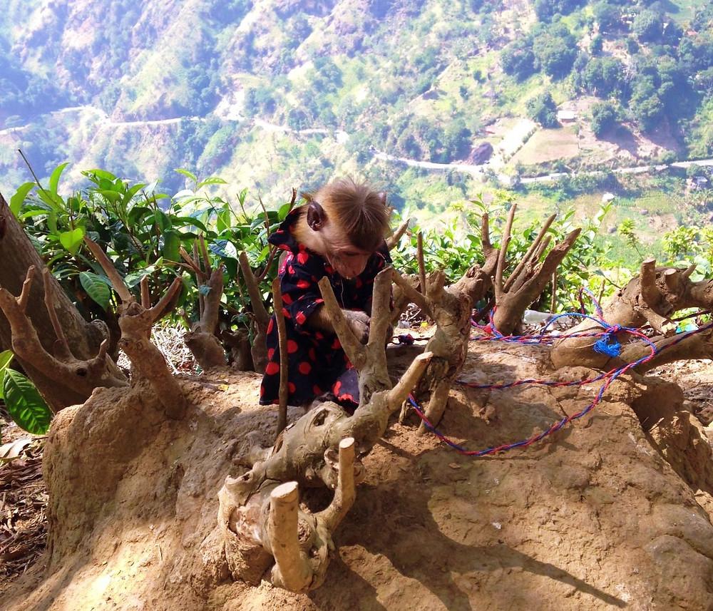 Singes Little Adam's Peak Ella au Sri Lanka