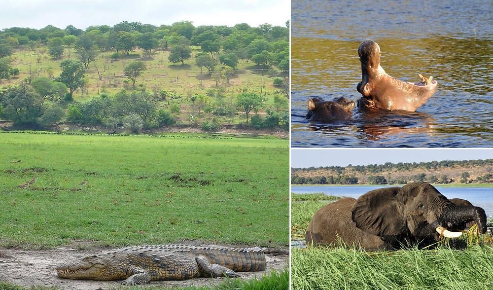 crocodiles chobe river Kasane au Botswana