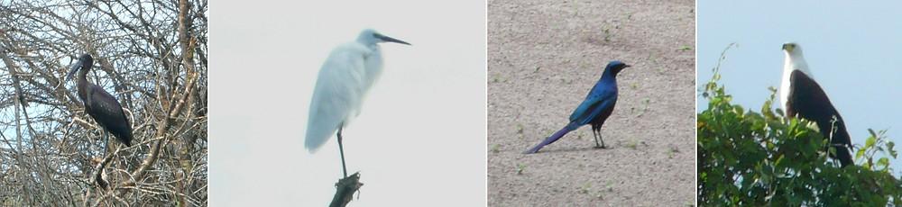 oiseaux Maun botswana