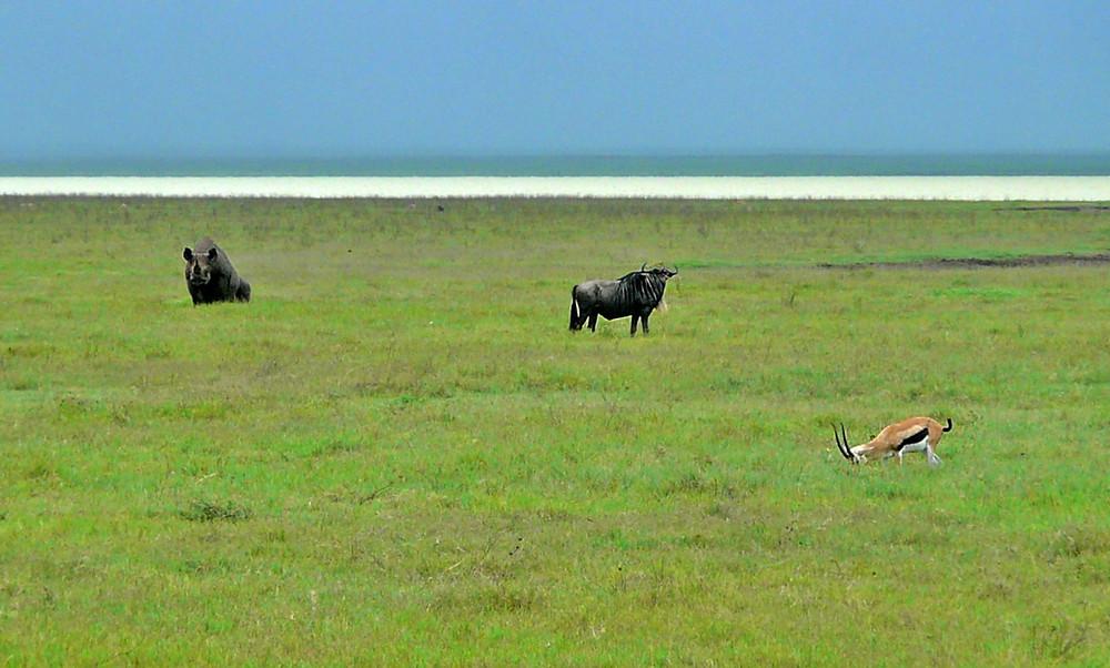 gnous rhino impala rhinocéros ngorongoro