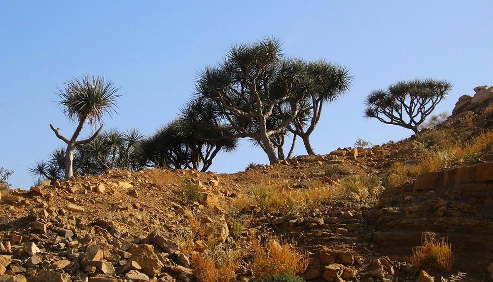 arbres dragonniers