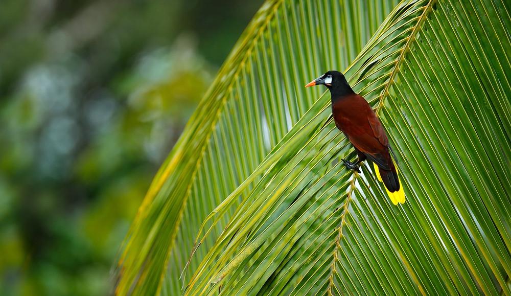 Oiseau Nicoya Costa Rica
