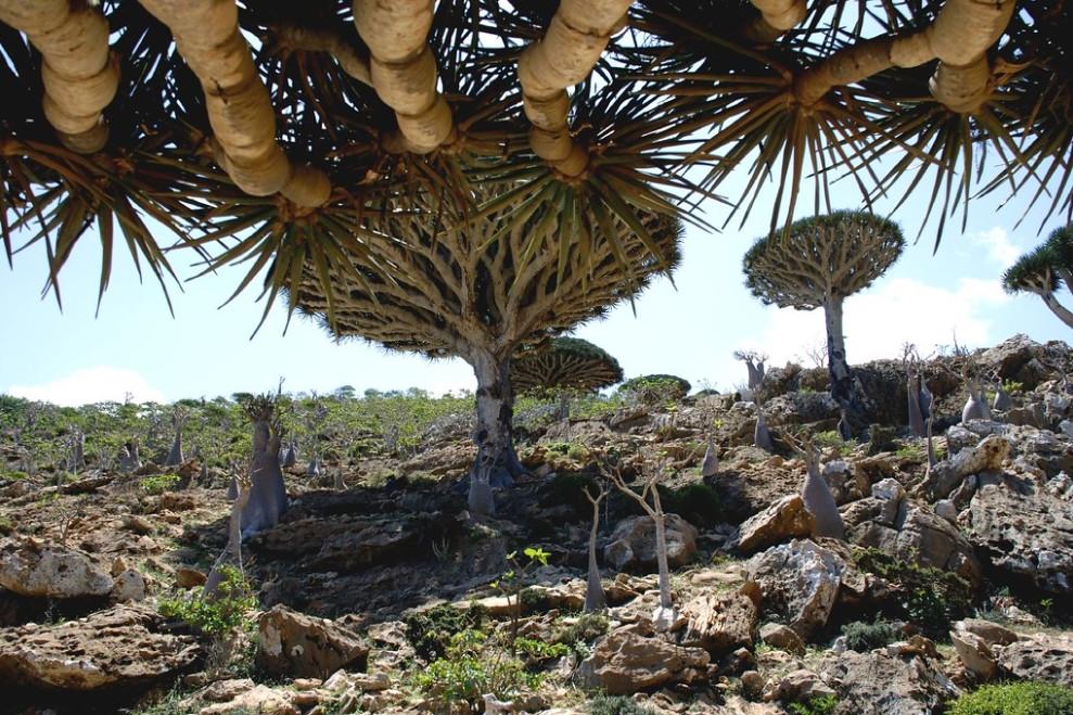 dragonnier de Socotra au Yemen