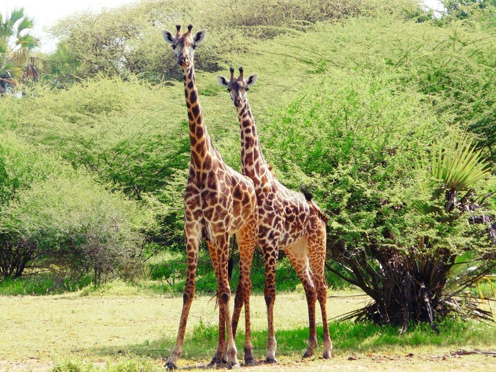 girafes parc manyara tanzanie