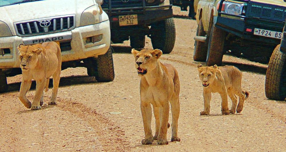 Lionnes route Serengeti