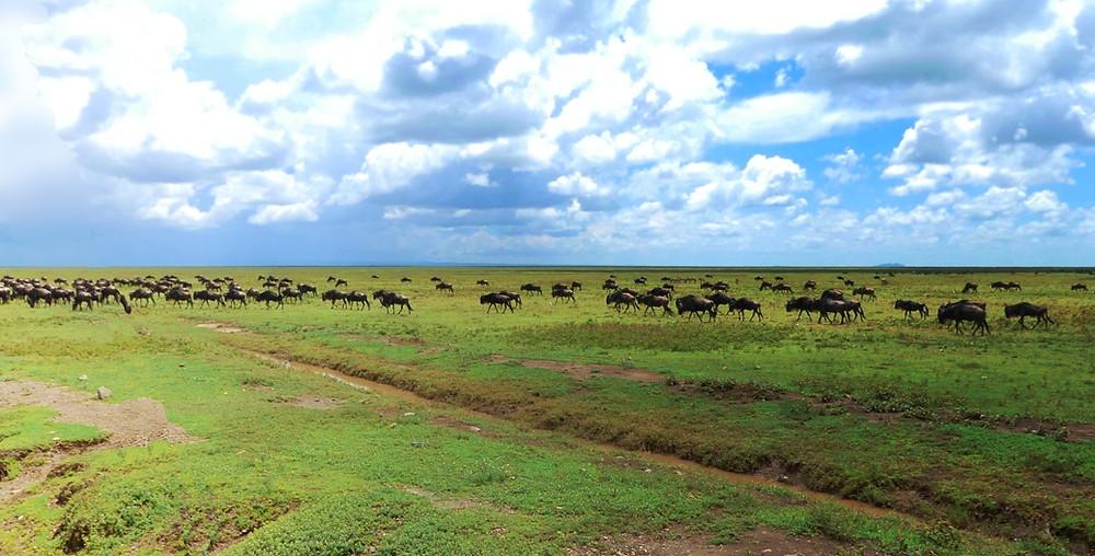 migrations gnous serengeti